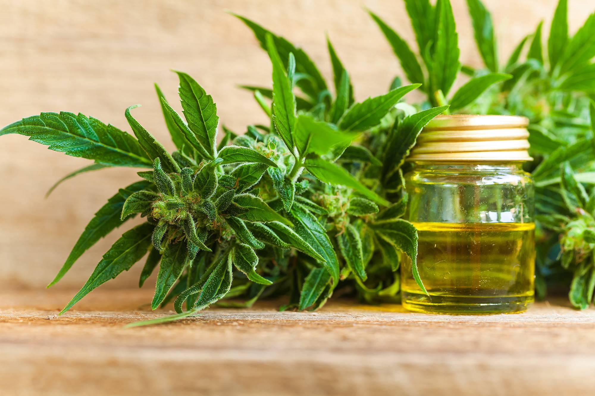 Legalna Marihuana Medyczna, UprawaKonopi